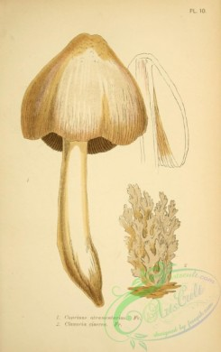 mushrooms-06781 - coprinus atramentarius, clavaria cinerea