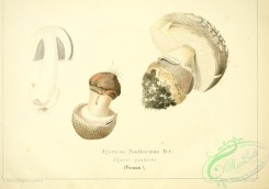 mushrooms-06792 - agaricus pantherinus