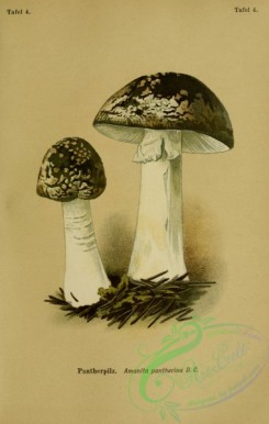 mushrooms-06985 - amanita pantherina