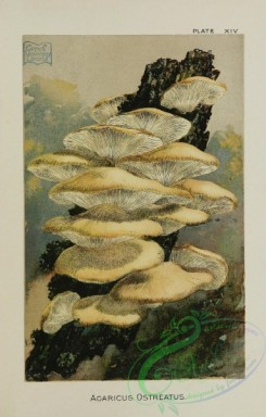 mushrooms-07185 - agaricus ostreatus
