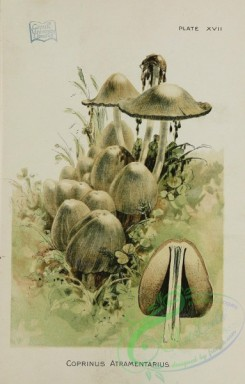 mushrooms-07195 - coprinus atramentarius