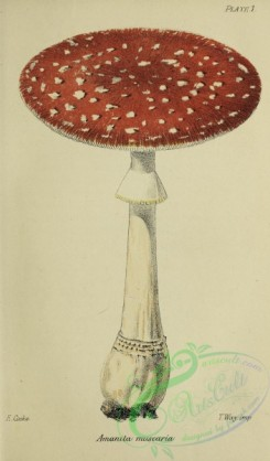 mushrooms-07966 - 003-amanita muscaria