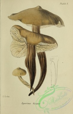 mushrooms-07971 - 008-agaricus fusipes