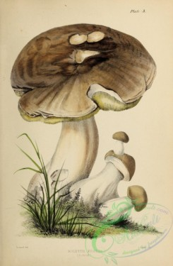 mushrooms-07998 - 004-boletus edulis