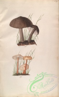 mushrooms-08058 - 119-gymnopus pluteus, gymnopus erythropus