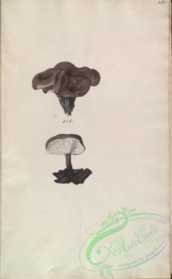 mushrooms-08337 - 380-merulius carbonarius