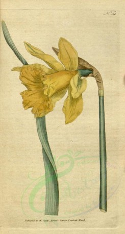 narcissus-00010 - 051-narcissus major, Great Daffodil [1720x3219]