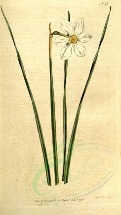 narcissus-00014 - 193-narcissus angustifolius, Narrow-leaved Narcissus [1787x3183]