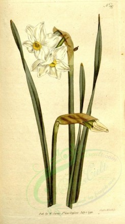 narcissus-00015 - 197-narcissus biflorus, Two-flowered Narcissus [1787x3183]