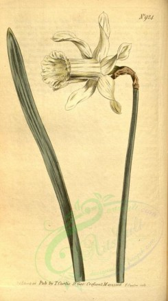 narcissus-00017 - 924-narcissus moschatus, White Long-flowered Daffodil [1849x3298]