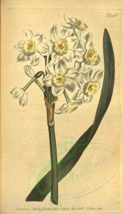 narcissus-00022 - 946-narcissus orientalis, Many-flowered Narcissus of Levant [1889x3275]