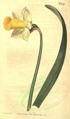 narcissus-00028 - 1187-narcissus bicolor, White and yellow garden Daffodil [1840x3122]
