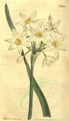 narcissus-00029 - 1188-narcissus italicus, Pale-flowered Narcissus [1793x3122]