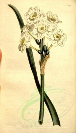 narcissus-00031 - 1298-narcissus orientalis, Pale-cupped white Garden Narcissus [1861x3259]
