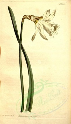 narcissus-00033 - 1300-narcissus moschatus, Smaller white Spanish Daffodil [1869x3259]