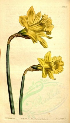 narcissus-00034 - 1301-narcissus major, Large yellow Spanish Narcissus [1873x3259]