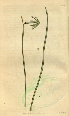 narcissus-00035 - 1687-narcissus viridiflorus, Green autumnal Jonquil [1912x3188]
