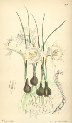 narcissus-00037 - 5831-narcissus bulbocodium monophyllus, Hoop-petticoat Narcissus single-leaved variety [2058x3484]