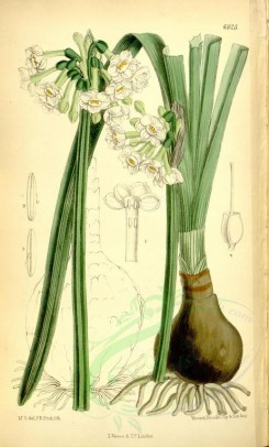 narcissus-00039 - 6825-narcissus pachybolbus [2262x3751]