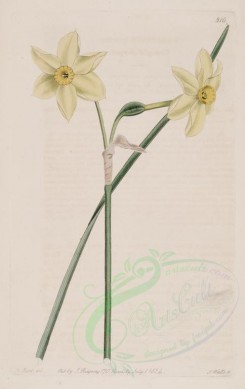 narcissus-00046 - 816-narcissus gracilis, Graceful Jonquil [2765x4382]