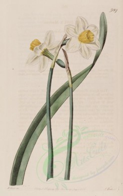 narcissus-00047 - 987-narcissus macleaii, Mr McLeay's Narcissus [2558x4052]