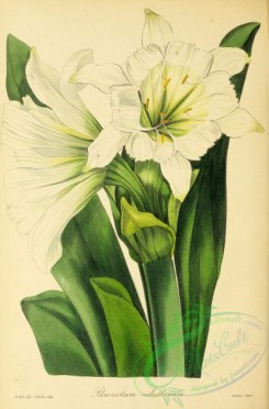 narcissus-00156 - Cup-flowered Sea Daffodil, pancratium calathinum