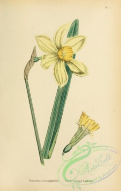 narcissus-00166 - Short-crowned Daffodil, narcissus incomparabilis