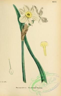 narcissus-00167 - Two-flowered Narcissus, narcissus biflorus