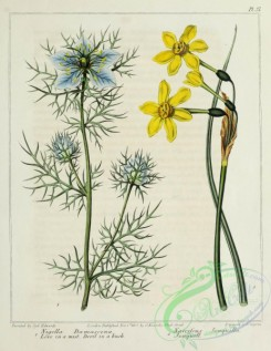 narcissus-00185 - Love in a mist, Devil in a bush, Jonquill, nigella damascena, narcissus jonquilla