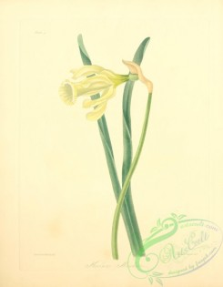 narcissus-00191 - Spanish Daffodil, narcissus moschatus