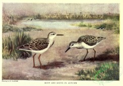 nature_and_art-00016 - 005-Ruff, Reeve