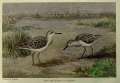 nature_and_art-00022 - 005-Ruff, Reeve