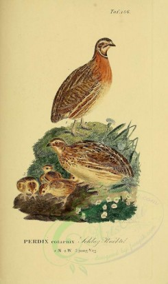 nestlings-00022 - Common Quail [1946x3270]