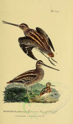 nestlings-00023 - Common Snipe [1946x3270]