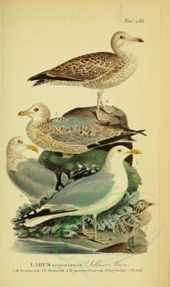 nestlings-00035 - Herring Gull [1946x3270]