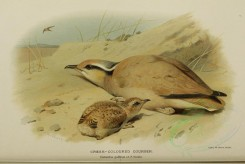 nestlings-00069 - CREAM-COLOURED COURSER [3214x2154]