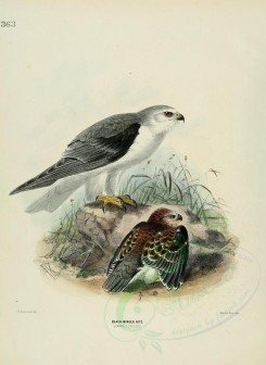 nestlings-00090 - BLACK-WINGED KITE [2575x3531]