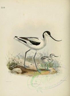 nestlings-00100 - AVOCET [2577x3537]