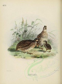 nestlings-00105 - COMMON QUAIL [2601x3537]