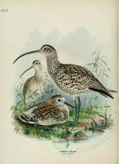 nestlings-00119 - COMMON CURLEW [2596x3567]