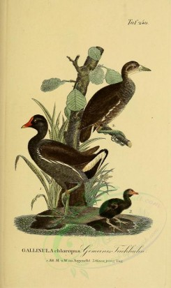 nestlings-00180 - Common Moorhen [1945x3270]
