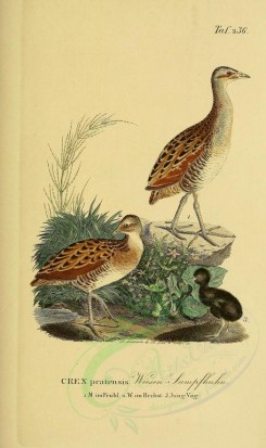 nestlings-00184 - Corn Crake [1945x3270]