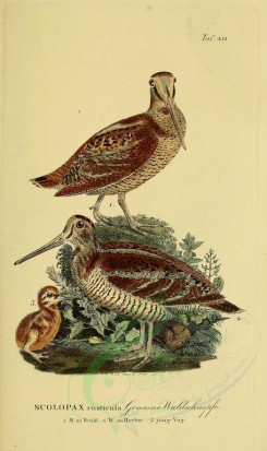 nestlings-00187 - Eurasian Woodcock [1945x3270]