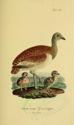 nestlings-00188 - Great Bustard [1945x3270]