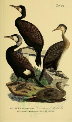 nestlings-00189 - Great Cormorant [1945x3270]