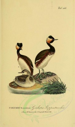 nestlings-00193 - Horned Grebe [1945x3270]