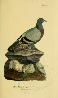 nestlings-00197 - Rock Dove [1945x3270]