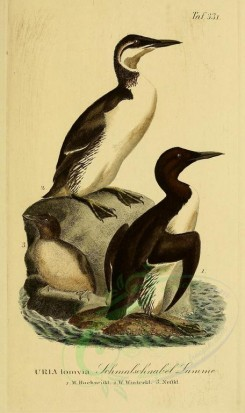 nestlings-00198 - Thick-billed Murre [1945x3270]