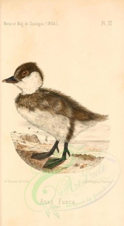 nestlings-00259 - Velvet or White-winged Scoter [1813x3280]