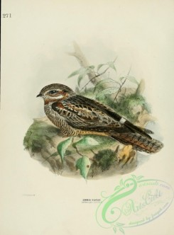 nightjars-00018 - COMMON NIGHTJAR